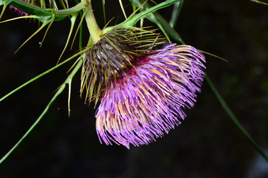 興大研究團隊經五年比對,發表台灣特有新種塔塔加薊(Cirsium tatakaense Y.H.Tseng&C.Y.Chang)。照片提供:興大森林系副教授曾彥學研究團隊。