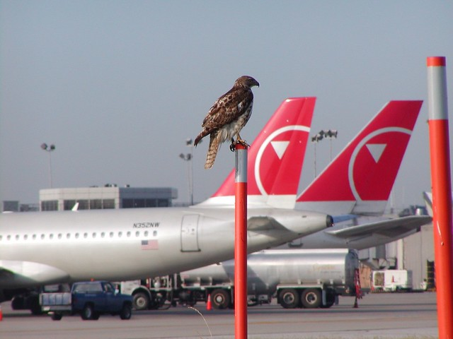A red-tailed hawk perching near an airport terminal