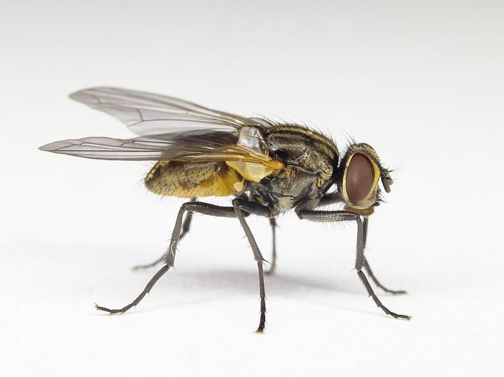 蚊蠅。圖片來源:Peter Koomen