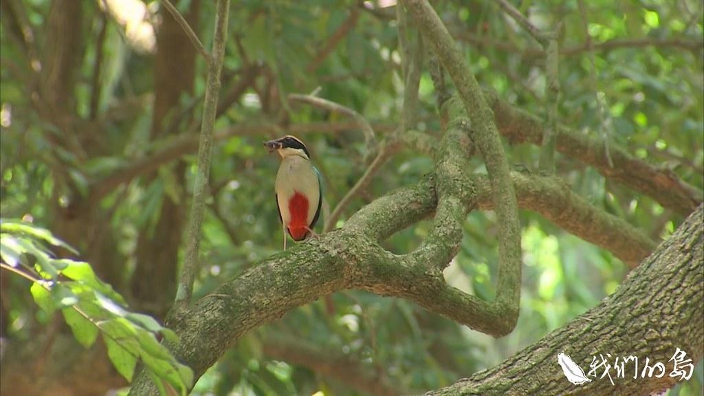 八色鳥是亞洲鳥類紅皮書瀕臨絕種鳥類,在國內被列為第二級保育類、珍貴稀有的野生動物。