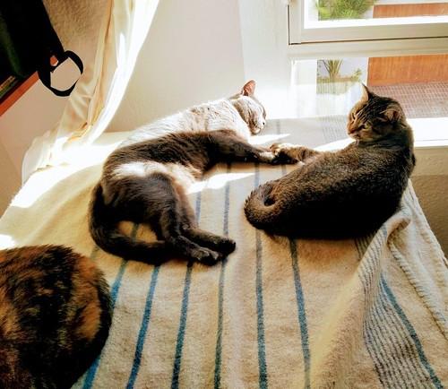 Cartujo, gato azul de ojos cobre tímido y juguetón esterilizado, nacido en Febrero´14, en adopción. Valencia. ADOPTADO. 33216760628_a2007d9a2f