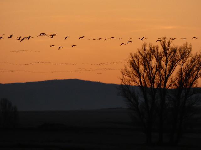 Bandos de grullas al amanecer en la laguna de Gallocanta