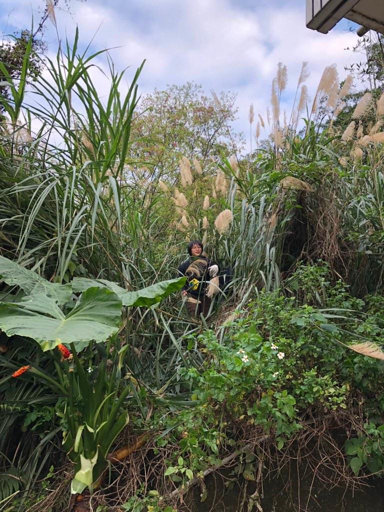 芒草生長旺盛又難以清除,一個不注意往往會長到比人還高。