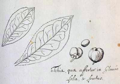disegno di Camellia sinensis per mano di Kamel foglie e frutto di camelia