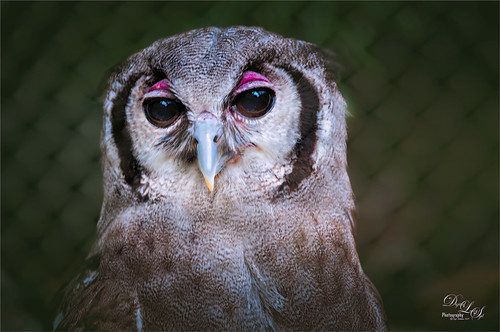 Image of a Verreaux Eagle Owl at the Jacksonville Zoo