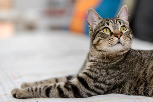 Bonnie, gatita parda monísima y muy lista esterilizada, nacida en Marzo´18, en adopción. Valencia. 46870018232_f7c7a10228