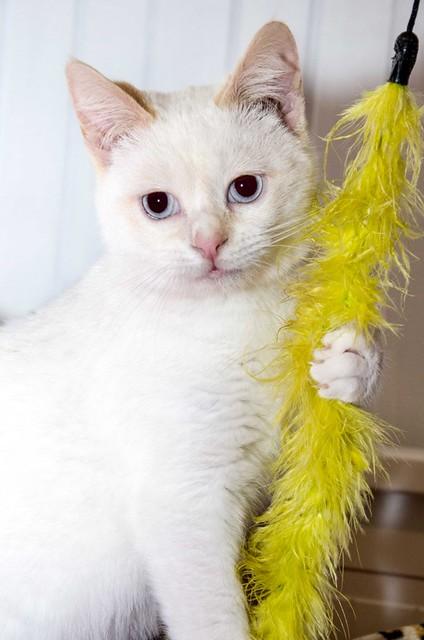 Corinto, gatito siamés Red Point muy guapo, esterilizado tímido y bueno nacido en Octubre´18, en adopción. Valencia. 47097906872_2a89c2c6b1_z