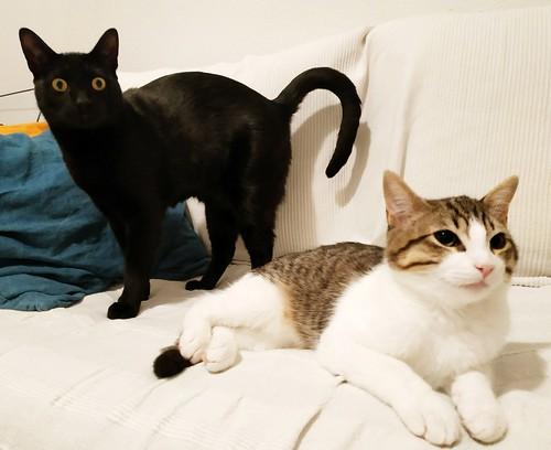 Morris, gatito blanquipardo muy guapo y activo nacido en Octubre´18, en adopción. Valencia. ADOPTADO. 40069872293_25a16a1916
