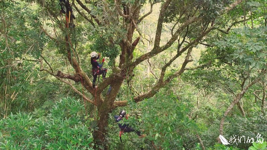 2015年開始,農委會林務局台東林區管理處,首度針對浸水營石櫟,進行採種復育計畫。