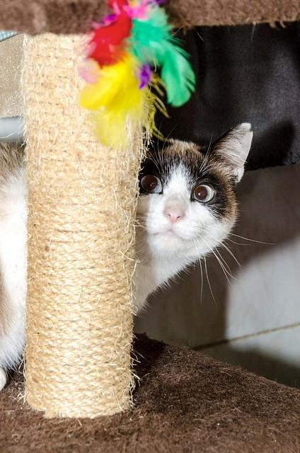 Dora, gata cruce Snowshoe dulce y habladora esterilizada, nacida en Marzo´18, en adopción. Valencia. 39967468683_1534c33bbb_z