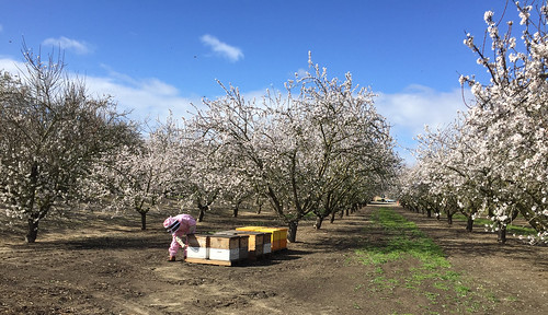 A beekeeper with several colonies of bees among almond trees.