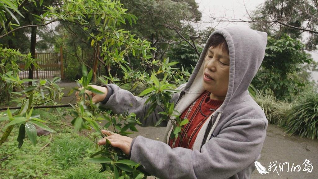 泰雅族稱山胡椒為馬告,李秀菊在新北市烏來山區的農場,山坡上的山胡椒樹,正含苞待放。