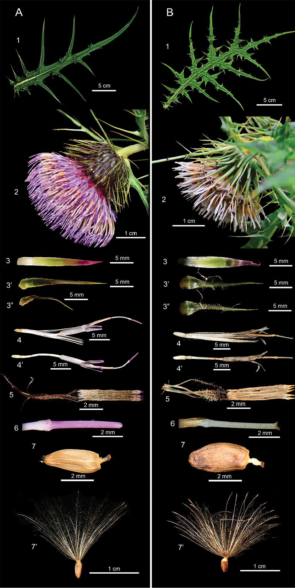 塔塔加薊(A)與玉山薊(B)型態差異。圖片來源:興大森林系副教授曾彥學研究團隊提供