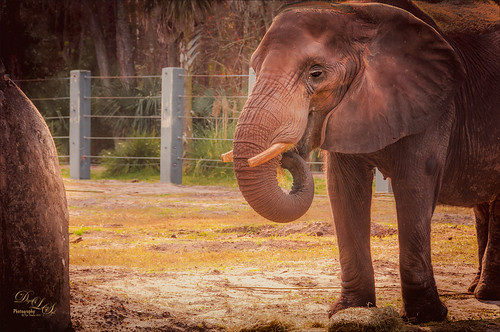 Image of an African Elephant at the Jacksonville Zoo