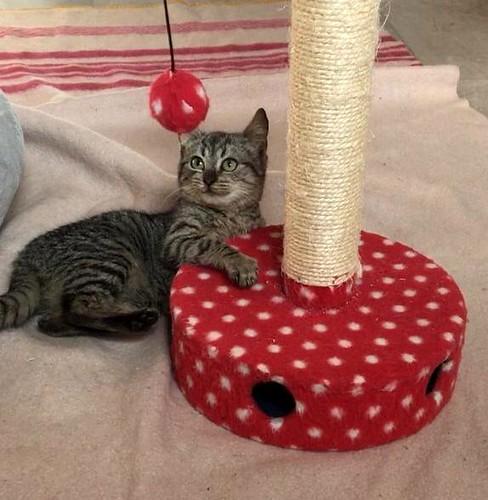 Candy, gatita parda confiada y amorosa nacida en Septiembre´18, en adopción. Valencia. ADOPTADA. 45619536535_dc48c33cc7