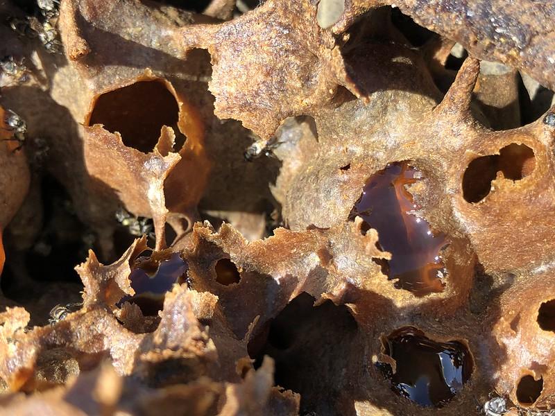 蜂窩內部構造,以蜂膠填補得密實,還有蜜囊。