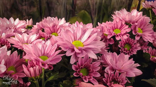 Image of some pink daisies