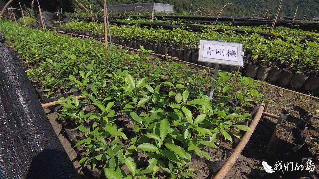 龍泉苗圃已經成功復育十二種殼斗科的小樹苗,像是赤皮、青剛櫟、小西氏石礫和捲斗櫟等。