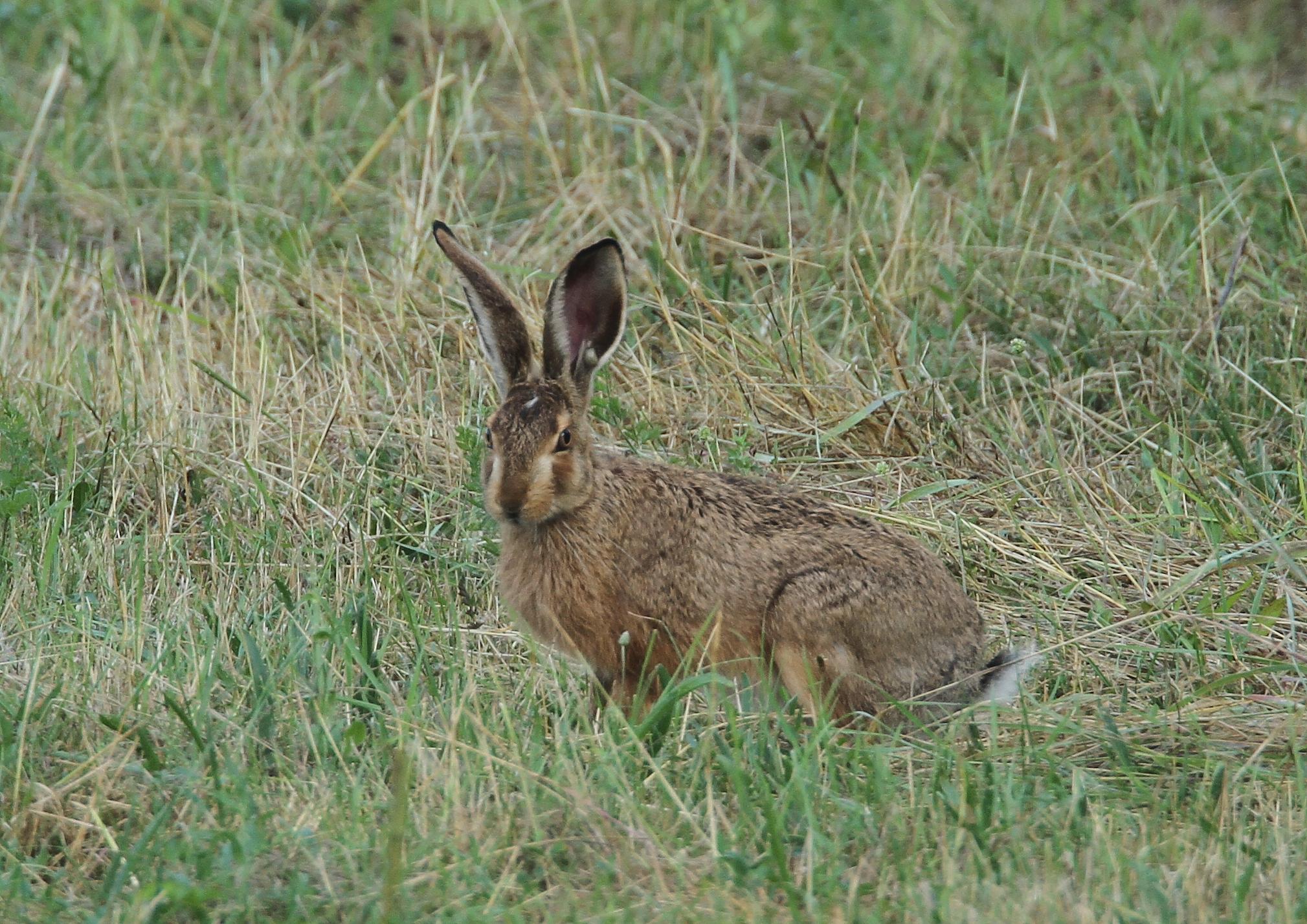 изображений покажите мне зайца -беляка и зайца-русака картинки банька уже почти