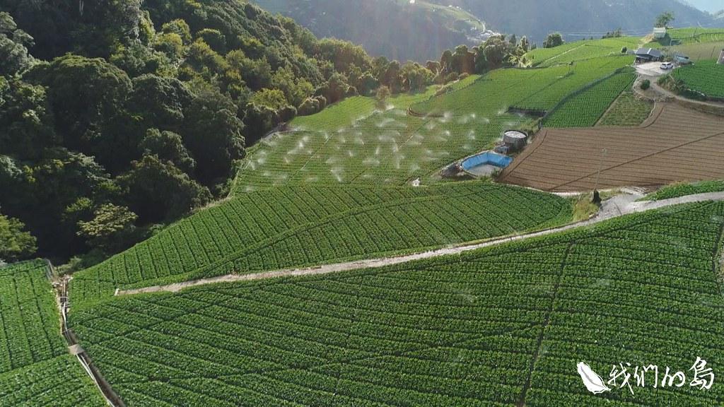 在風險與利潤考量下,將一部分果園砍掉,改種高麗菜,這在梨山是種趨勢。