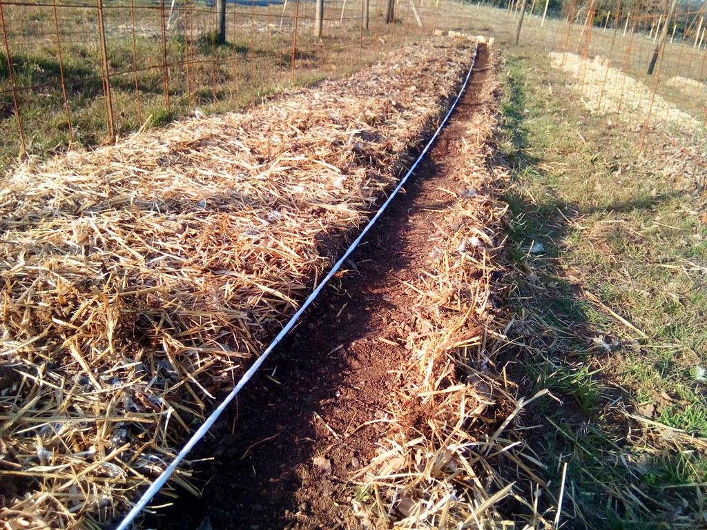 Semis de carottes et radis