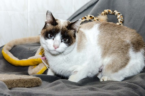 Dora, gata cruce Snowshoe dulce y habladora esterilizada, nacida en Marzo´18, en adopción. Valencia. 39967471063_069a240715