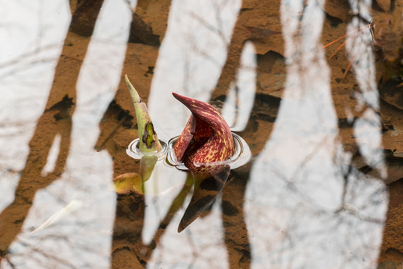 Almost submerged Skunk Cabbage flower
