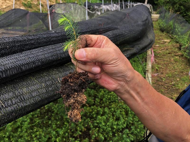 雲杉小苗根系的菌根菌逐漸壯大