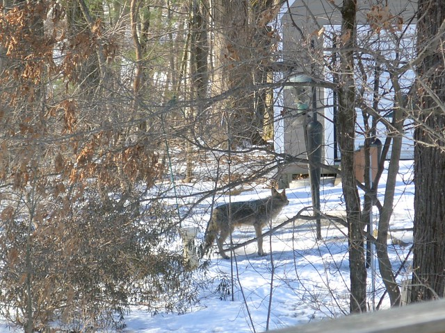 Fox at Bird Feeder