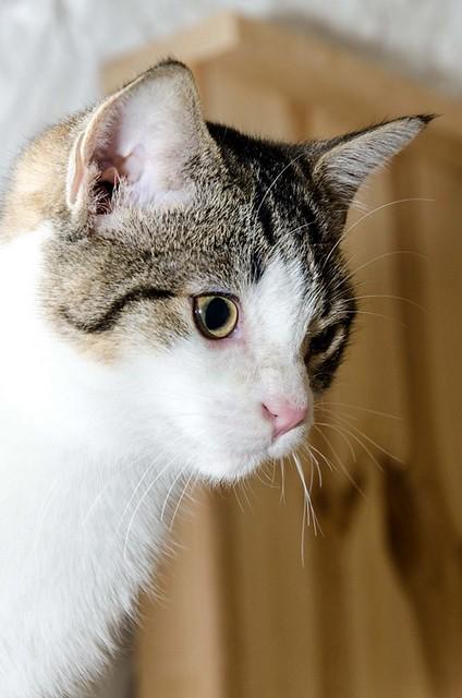 Lara, gatita blanquiparda dulcísima y confiada, nacida en Septiembre´18, en adopción. Valencia. ADOPTADA. 46681812951_d2732e91ce_z