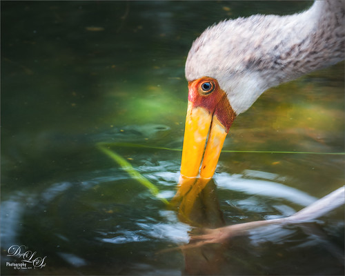 Image of a Yellow Billed Stork at the Jacksonville Zoo