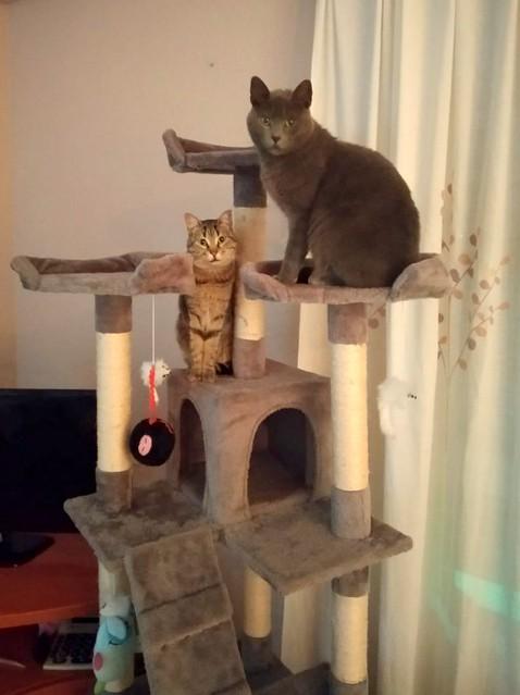 Cartujo, gato azul de ojos cobre tímido y juguetón esterilizado, nacido en Febrero´14, en adopción. Valencia. ADOPTADO. 32149959707_dda85d0c00_z