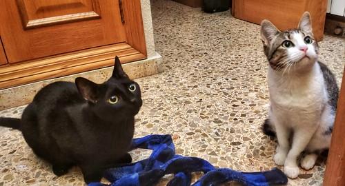 Alfred, gatito blanquipardo de ojos verdes nacido en Junio´18, en adopción. Valencia. ADOPTADO. 32650782148_8576f906c5