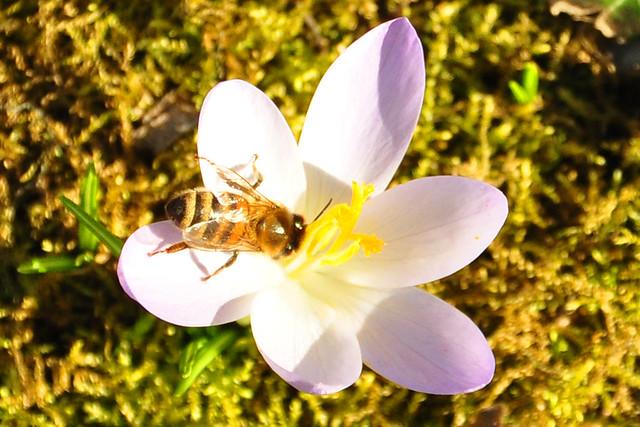 """16. Februar 2019 ... Gemeindepark Edingen ... Frühblüher: Krokus, Winterling, Schneeglöckchen ... Männliche Blütenstände """"Würstchen"""", """"Kätzchen"""" ... Foto: Brigitte Stolle"""
