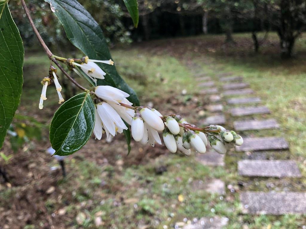 路上偶遇一段大葉溲疏帶花的枝條,開啟林建融植物形態數位記錄之門。攝影:廖靜蕙