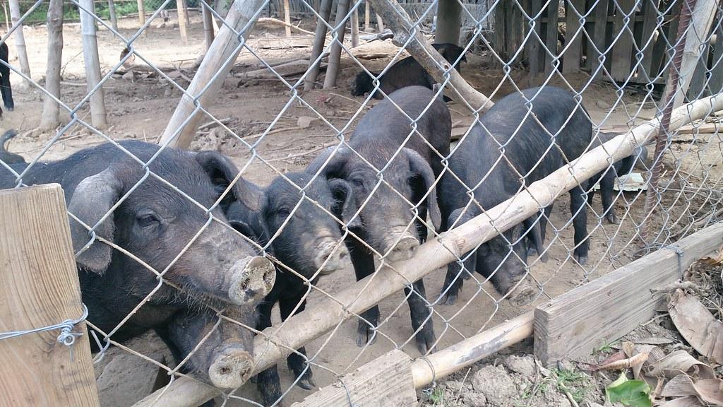 台灣本土黑豬慣以廚餘養殖。攝影:李育琴