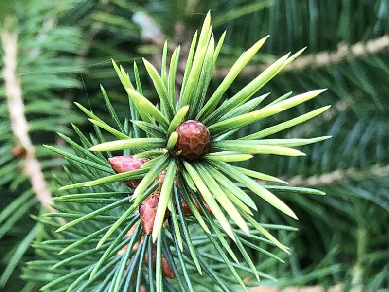 南投林管處人倫苗圃的台灣雲杉。