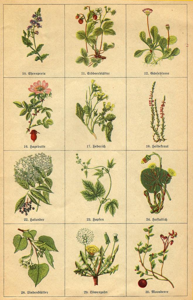 Heimische Wildgemüse, Wildkräuter, Wildfrüchte, Teepflanzen ... farbige Zeichnungen