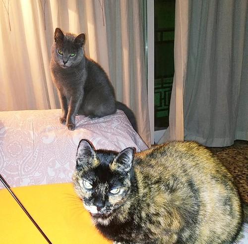 Cartujo, gato azul de ojos cobre tímido y juguetón esterilizado, nacido en Febrero´14, en adopción. Valencia. ADOPTADO. 33216761688_0c483d8aa4