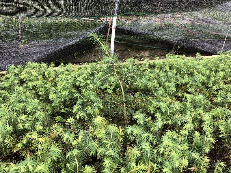 在小雲杉之間,置入一棵較大的雲杉,希望帶來好菌共享
