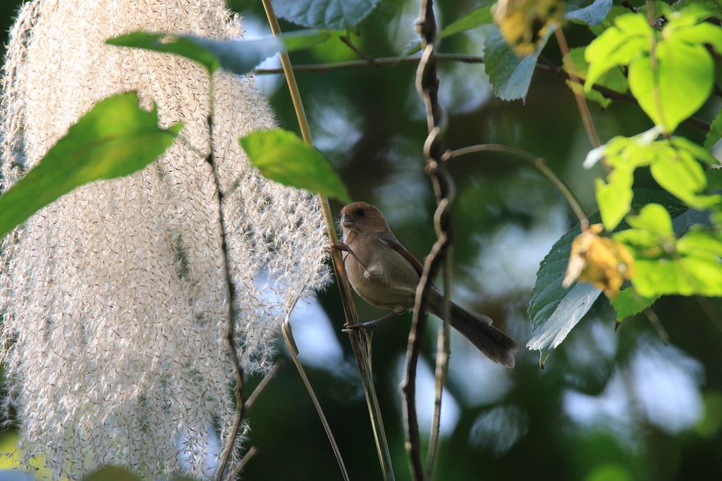 粉紅鸚嘴一生的活動範圍約2公里,適應環境的能力尤其重要。攝影:呂翊維