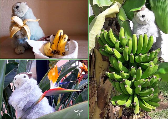 Februar 2019 ... Karla Kunstwadl mit V&J auf Teneriffa ... Fotos: Volker Stolle ... Bananen und Paradiesvogelblume (Strelitzie)