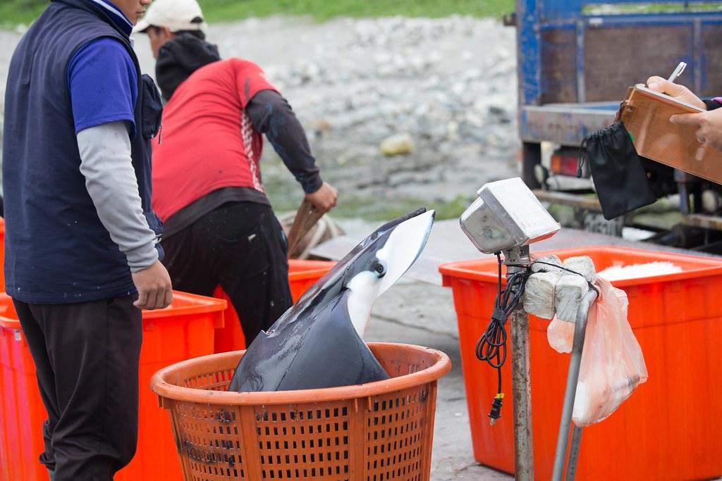 定置網捕捉上岸的日本蝠魟。吳宜靜攝影;圖片來源:台灣環境資訊協會。