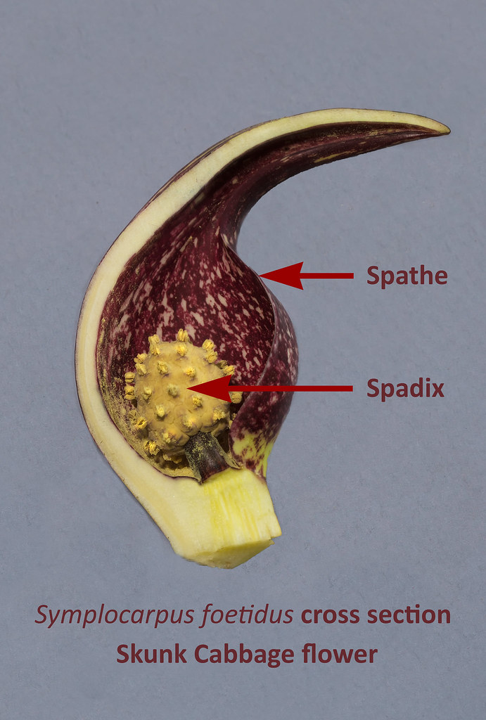 Cross section of Skunk Cabbage flower