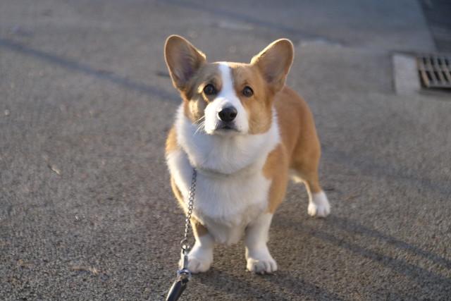 Pembroke-welsh-corgi-birth-month-dog-breed