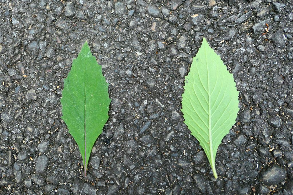 昭和草的葉脈中間有微微藍紫色,邊緣不規則鋸齒狀。