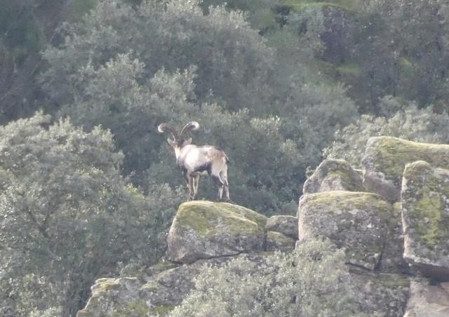 Cabra montesa (macho) en la Sierra de Andújar (Jaén)
