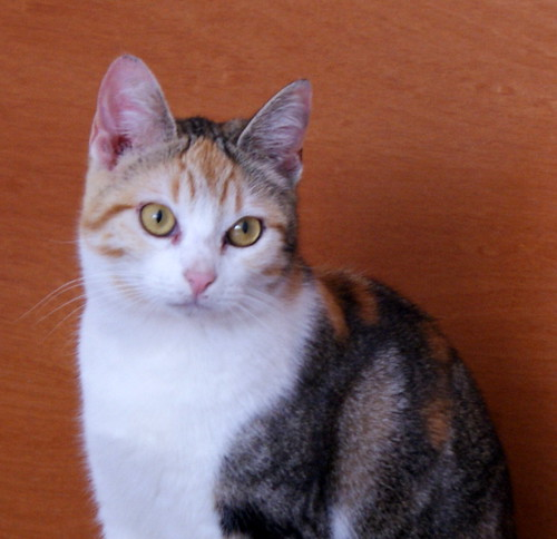 Zoe, gatita tricolor jaspeada divertida y guapa esterilizada, nacida en Septiembre´18, en adopción. Valencia. 47097677572_255bc7d98c