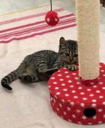 Candy, gatita parda confiada y amorosa nacida en Septiembre´18, en adopción. Valencia. ADOPTADA. 44715650280_f108e3b6fa