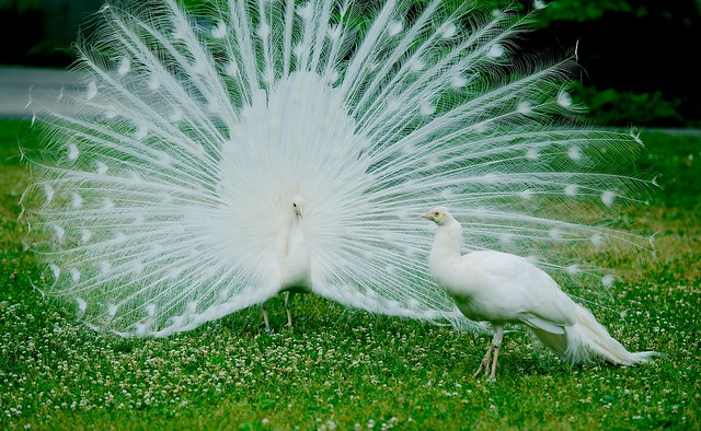 Peacock_9
